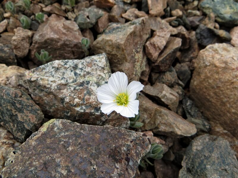 цветы, Заилийский Алатау