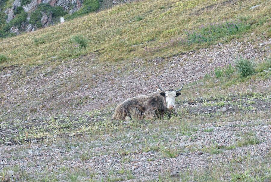 Стадо яков в горах Алматы