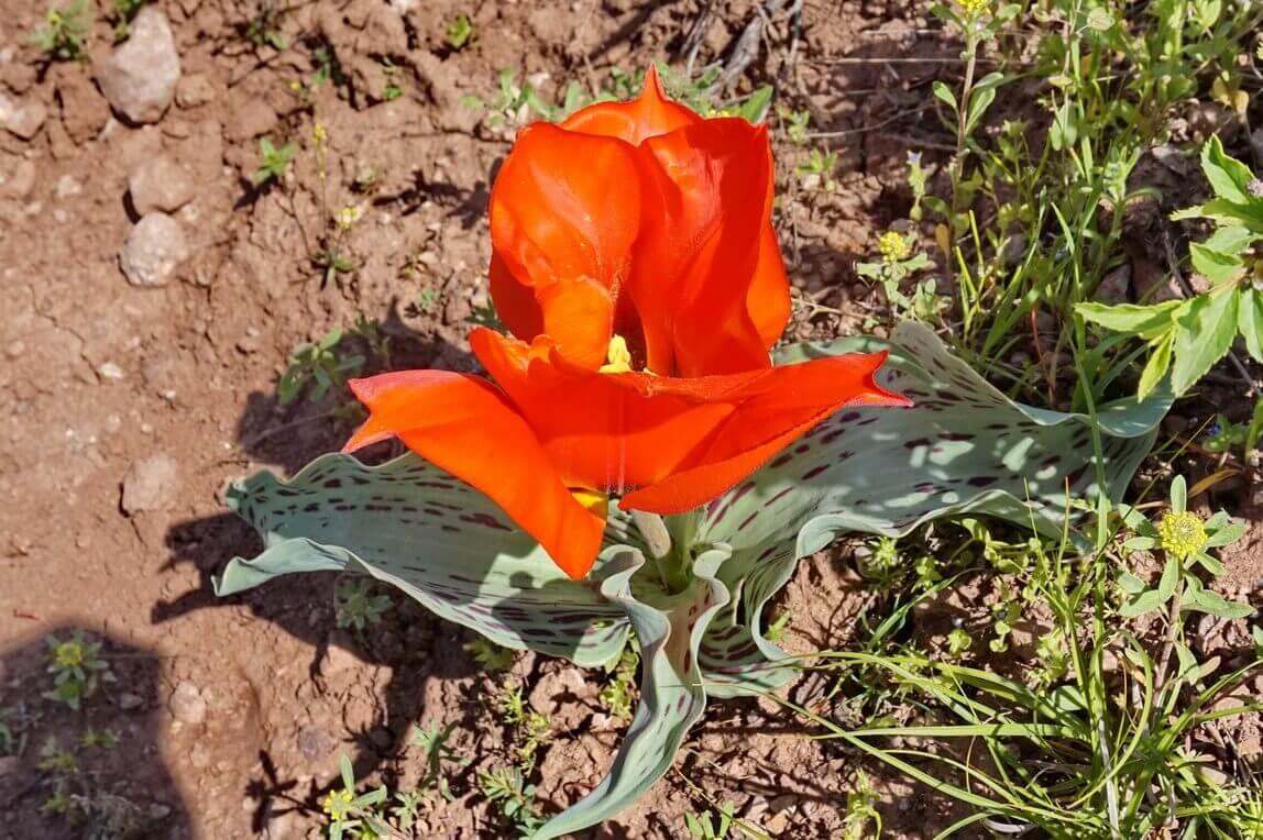 Greigs-tulip-in-Kazakhstan