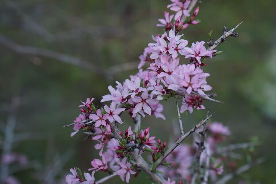 gory-Karjantau, flora-tien-shan