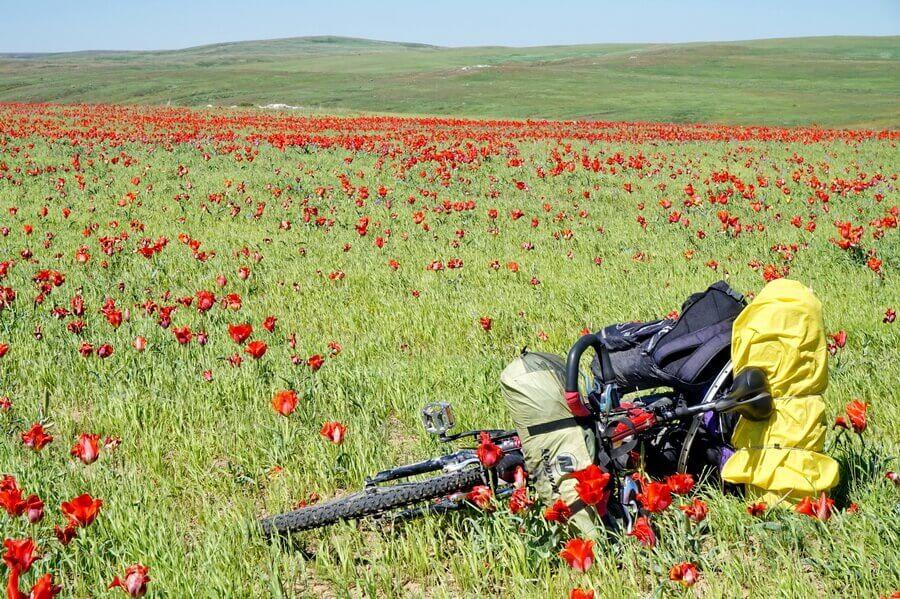 tulpany-yug-kazakhstan